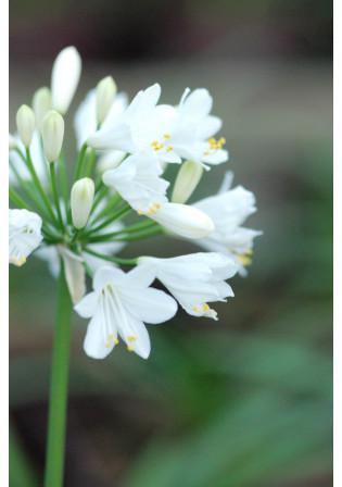 Agapanthe 'Ever White'