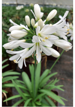 Agapanthe 'Kilmurry White'