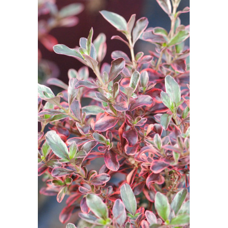 Coprosma 'Rainbow Surprise'