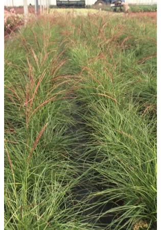 Miscanthus 'Red Cloud'