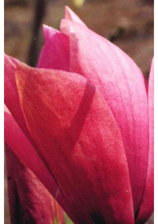 Magnolia 'Royal Splendor'